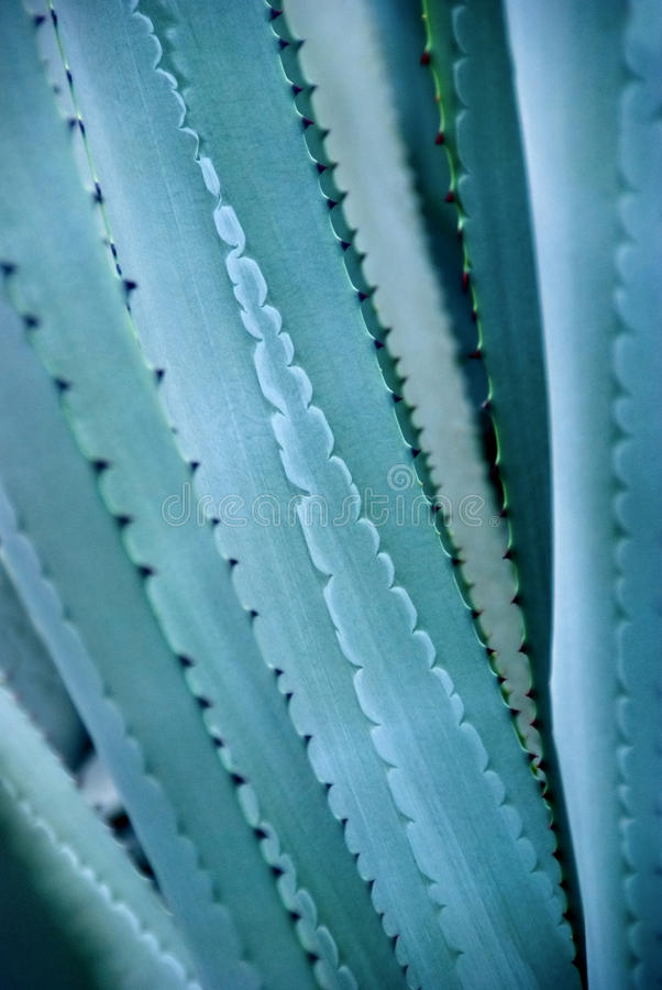 Agave. The closeup of the beautiful colors and patterns of the spike long leaves of agave plants