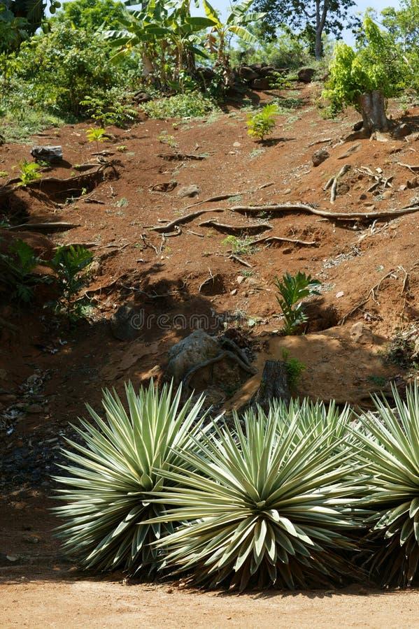 agave arkivbilder