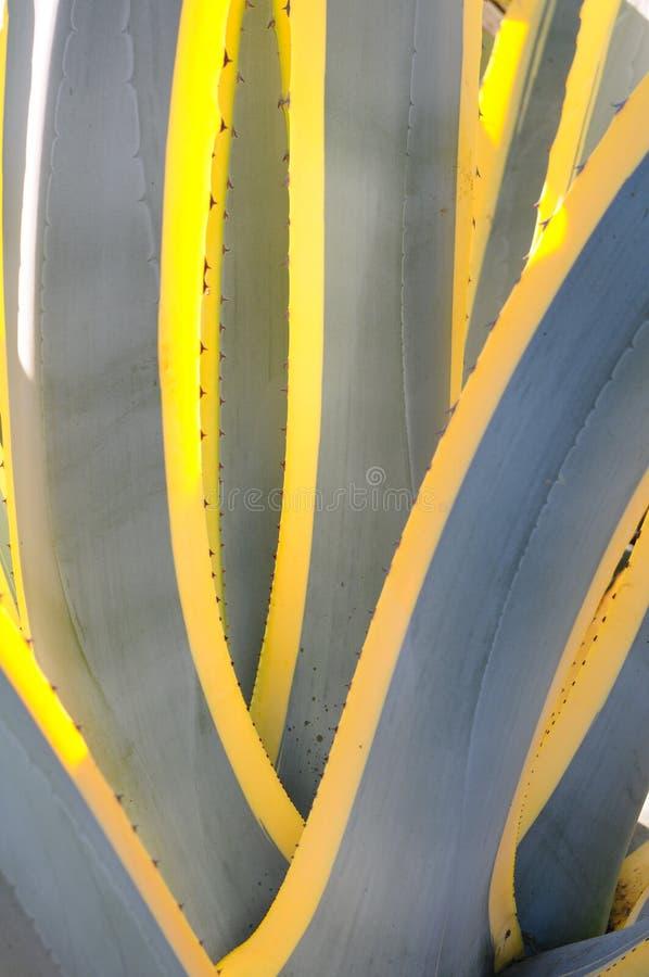 Download Agave americana variegata stock image. Image of variegata - 16779623