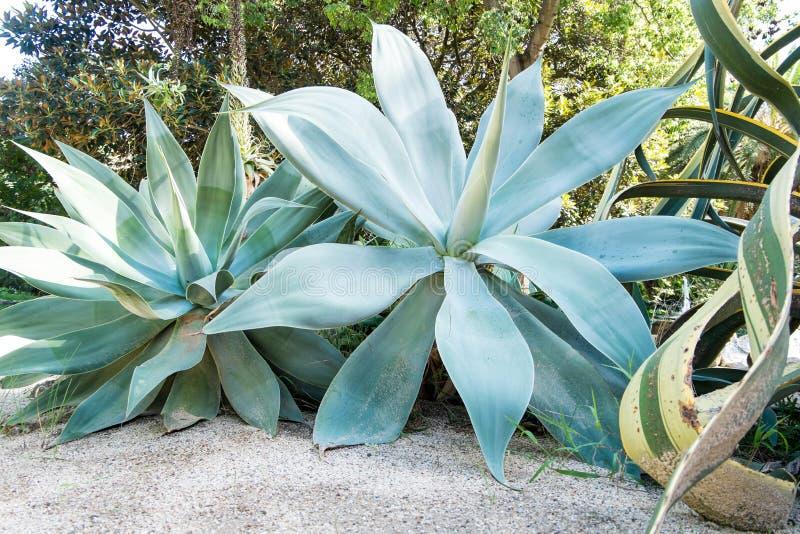 Agave Attenuata in giardino botanico di Cagliari, Sardegna, Italia immagine stock