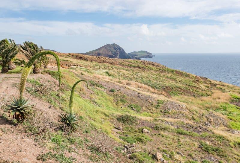 Agave attenuata plant on rocky desert plain field, Madeira Island stock images
