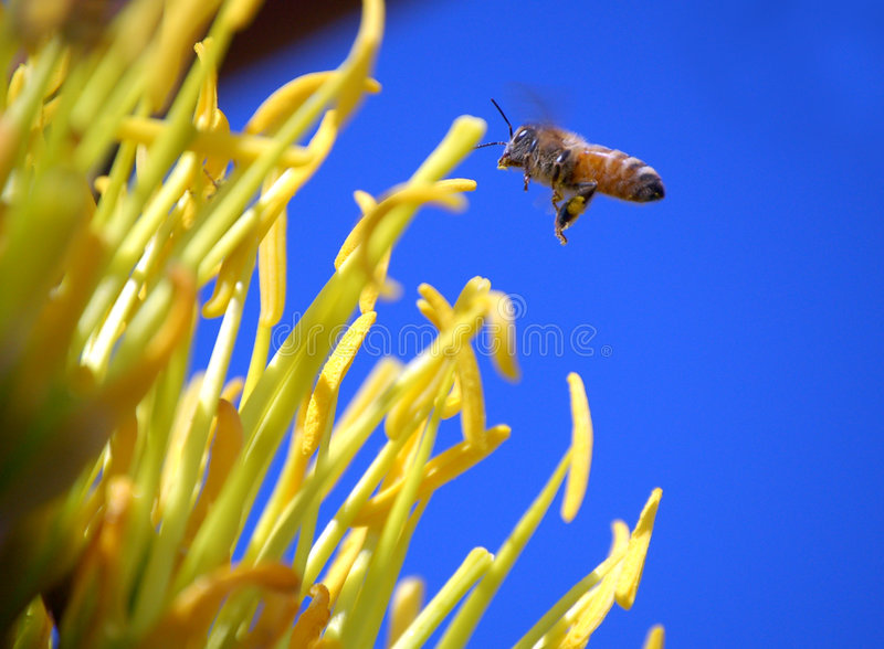 Agave and Bee. A honeybee gathering pollen from the bloom of an agave cactus against a brilliant blue sky stock photos