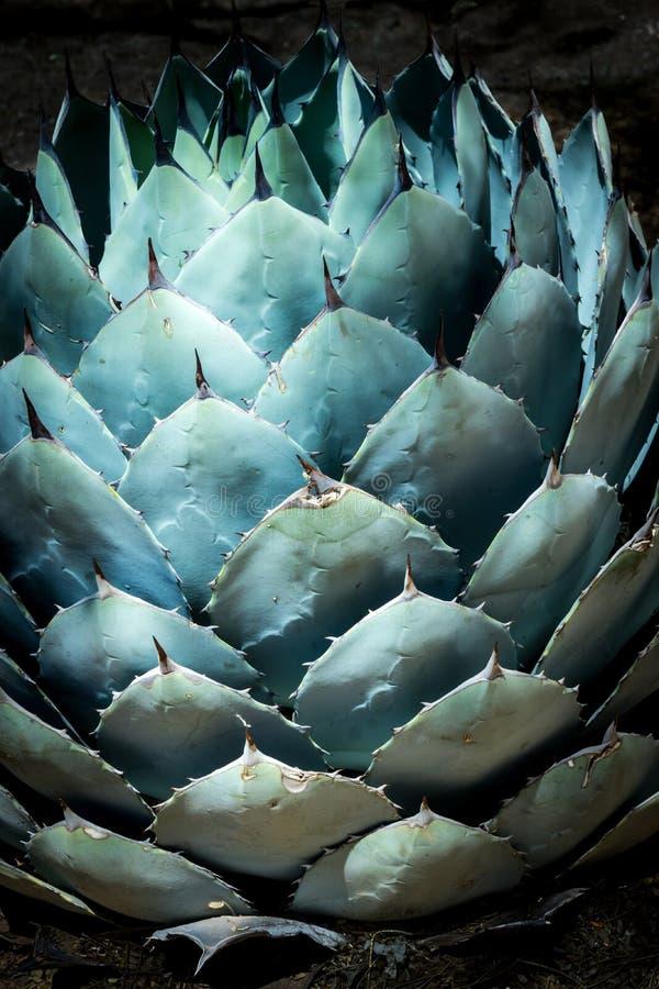 Agave blu nel deserto immagine stock