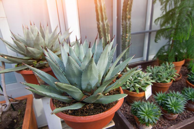 Agave bushes in pots in a greenhouse.  stock photo