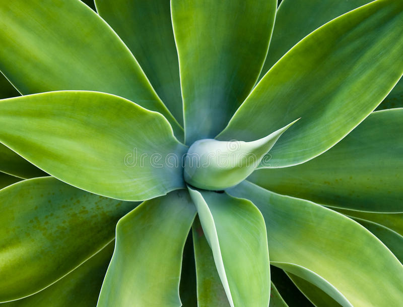 Agave cactus stock photography