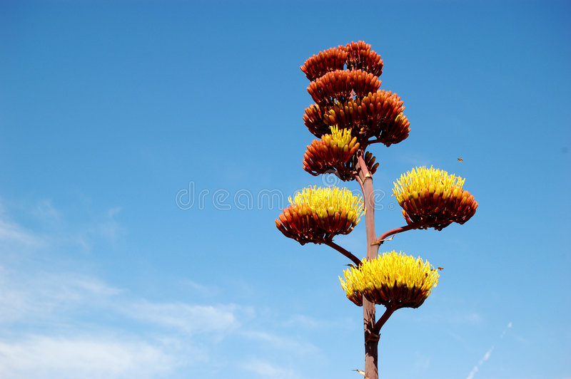 Agave Cactus royalty free stock image