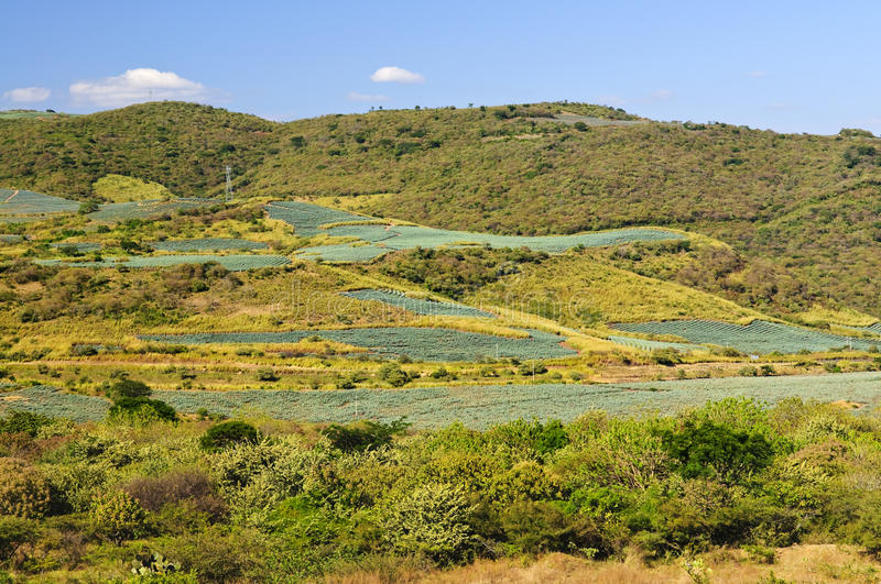 Download Agave Cactus Field Landscape In Mexico Stock Photo - Image: 13565034