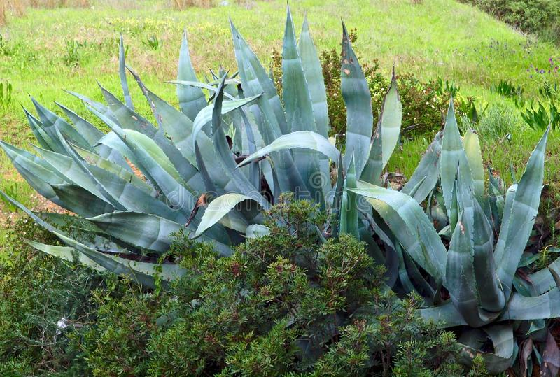Agave cactus in free nature royalty free stock image