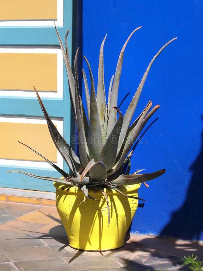Agave cactus. In the yellow pot royalty free stock photography