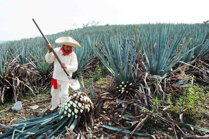 Agave d'homme de Jimador photos stock