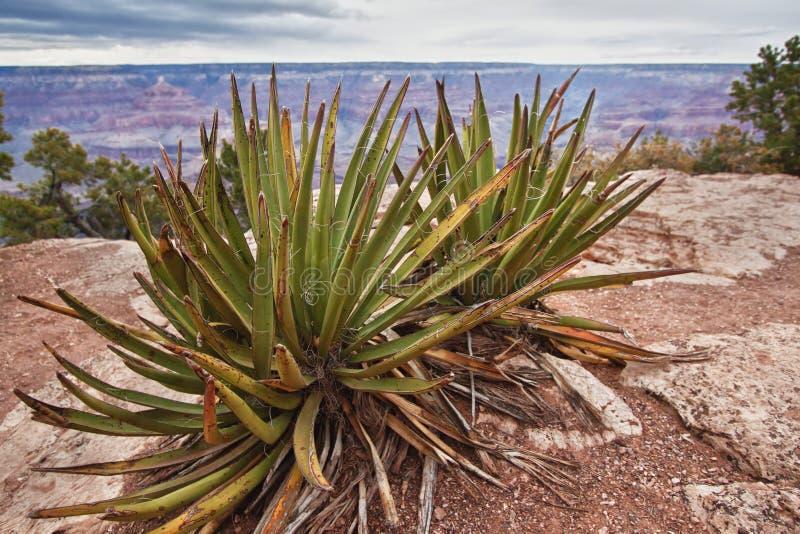 Agave davanti al grande canyon immagini stock libere da diritti