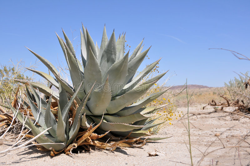 Agave on a desert royalty free stock image