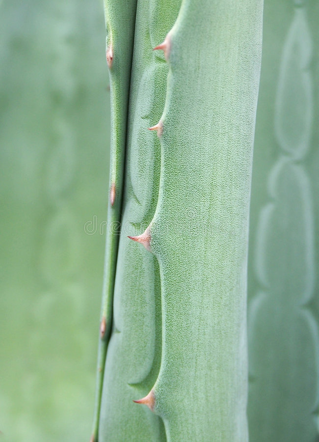 Agave, detail stock image