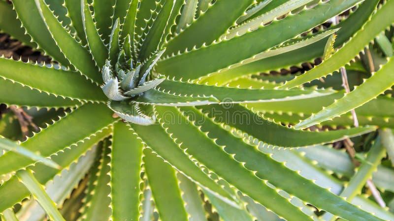 Agave em jardins botânicos de Kanapaha fotos de stock