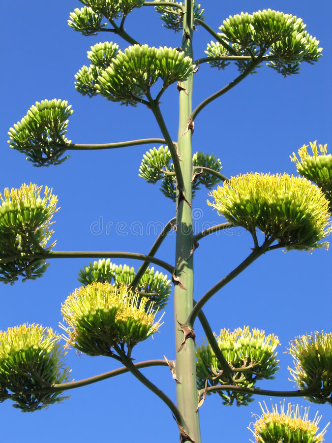 Agave Flower Royalty Free Stock Photo