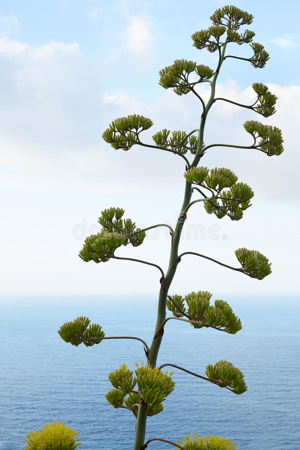 Agave flower and plant with mediterranean sea view. Horizon royalty free stock photos
