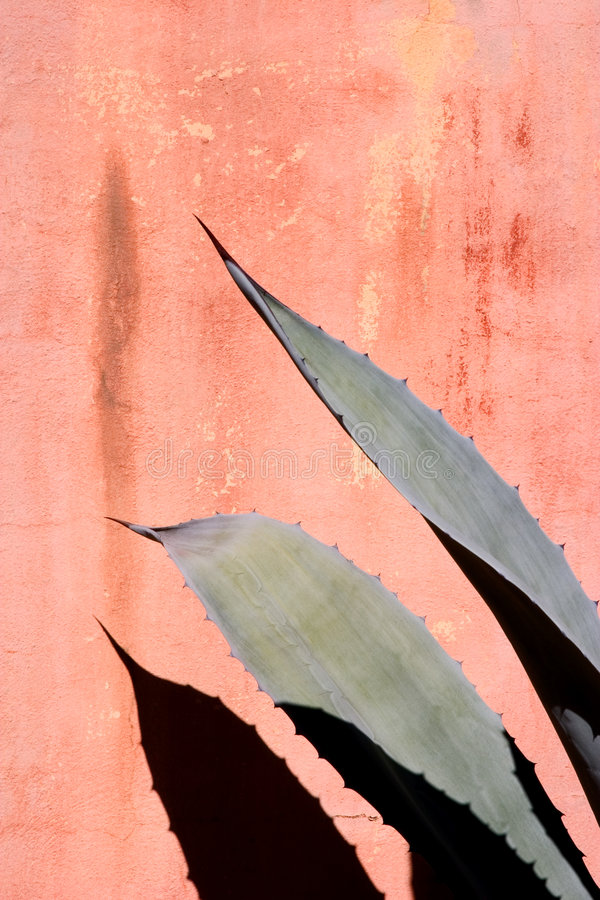 Agave Fronds and Wall stock photography