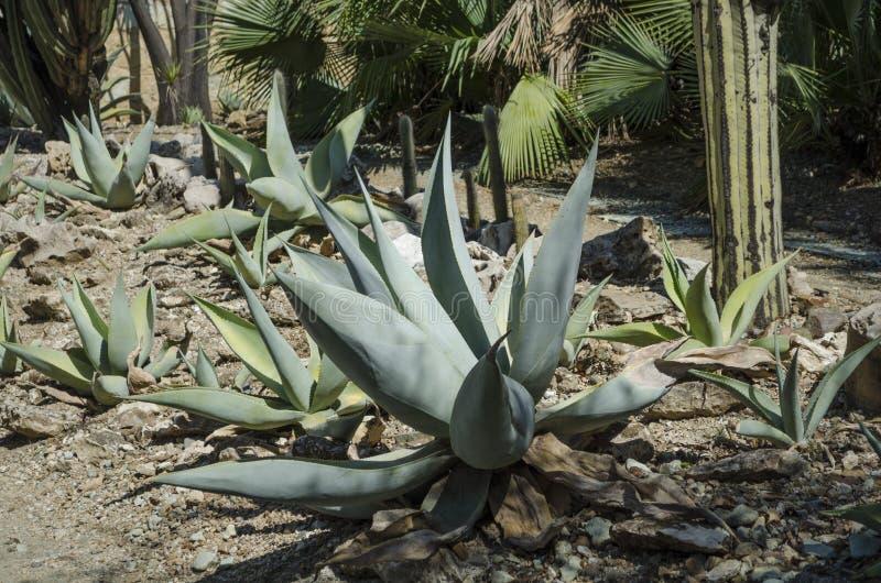 Agave landscape. In the botanical garden in Oaxaca, Oaxaca, Mexico royalty free stock photos