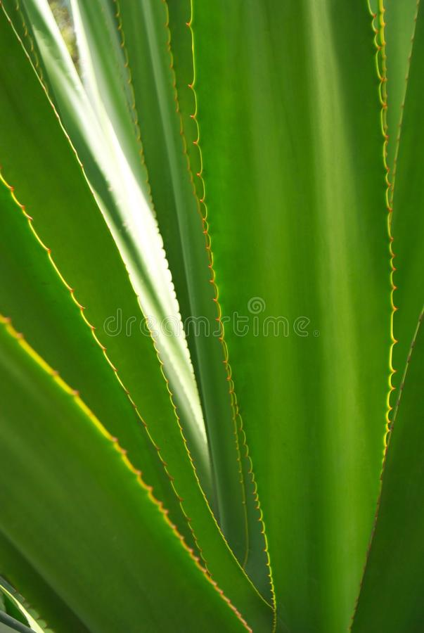 Agave leaves royalty free stock image
