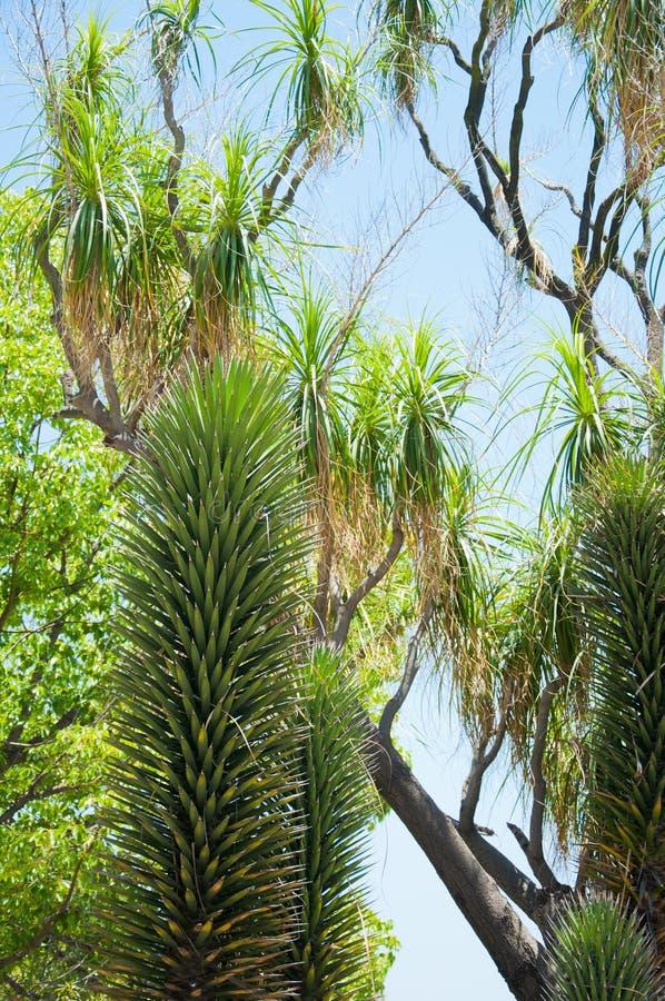 Agave o yucca succulente variegata fotografie stock