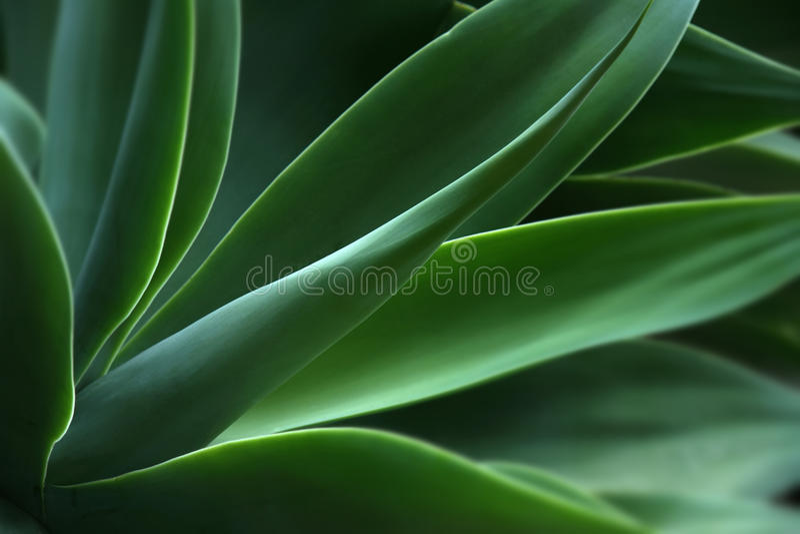 Agave, pianta fotografie stock