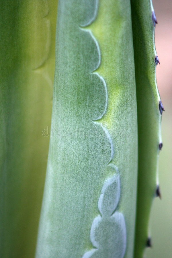 Agave Plant. Detail of Agave Plant - Liguria - Italy stock images