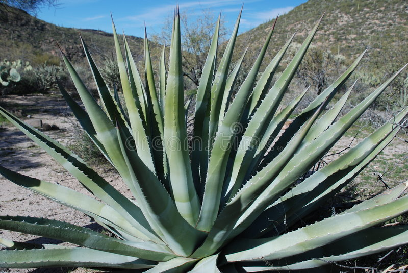 Download Agave plant stock photo. Image of sonora, waterless, spines - 8049404
