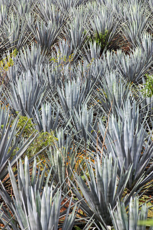 Agave plant stock photography