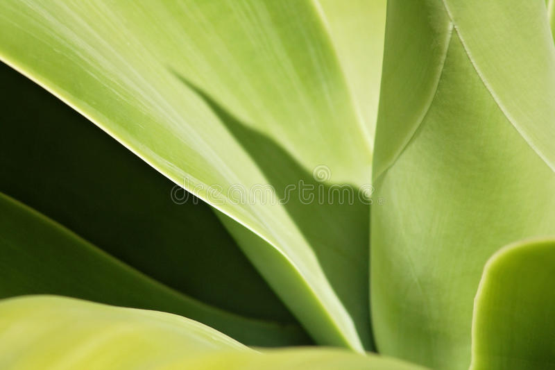 Agave plant. Abstract close up photograph of a agave plant royalty free stock photo