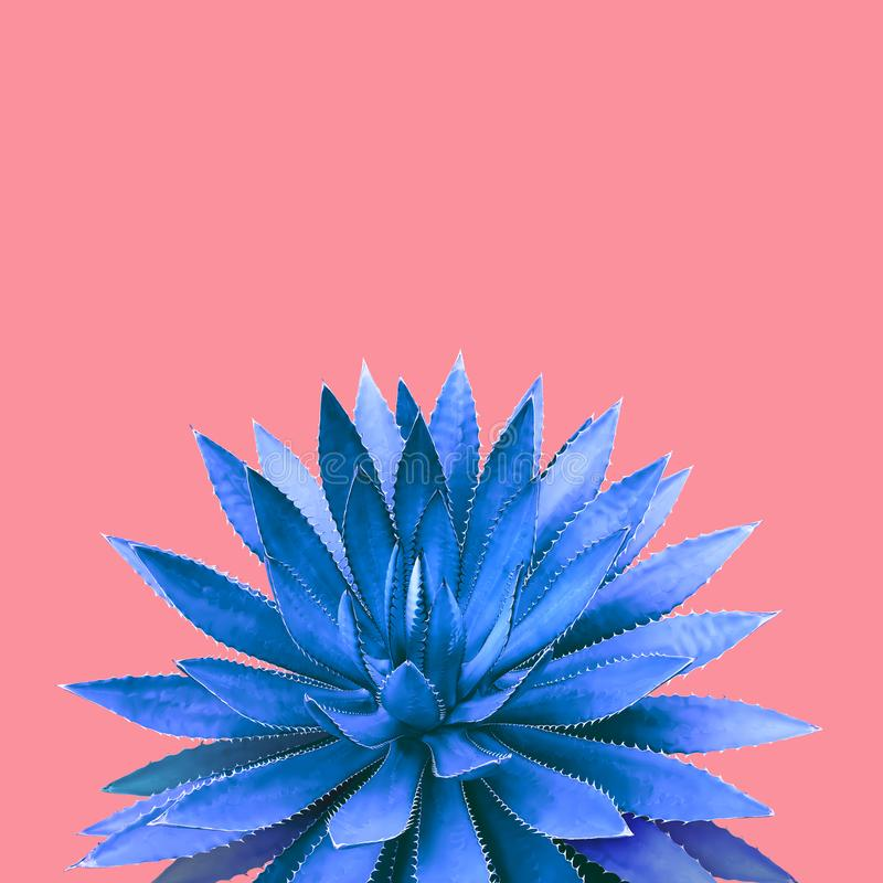 Agave Plant in Blue Tone Color on Pink Background Colorful Design Image royalty free stock images
