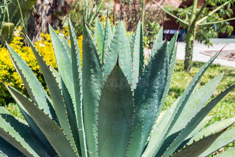 Agave Plant Closeup. Closeup of an agave plant near Oaxaca, Mexico royalty free stock image