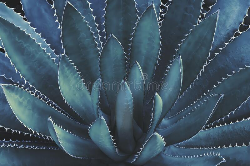 Agave Plant In Dark Blue Tone Color Natural Abstract Pattern Background royalty free stock photo