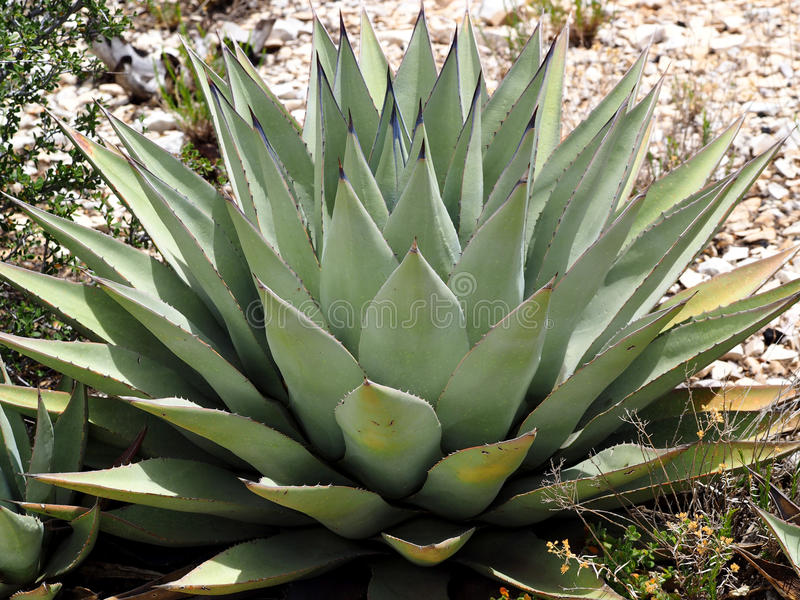 Agave Plant. A large agave plant in the arid desert wilderness of the Prescott National Forest in Arizona royalty free stock photo