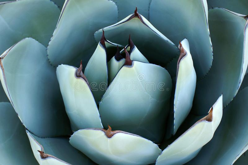 Agave Plant Overhead Closeup stock images