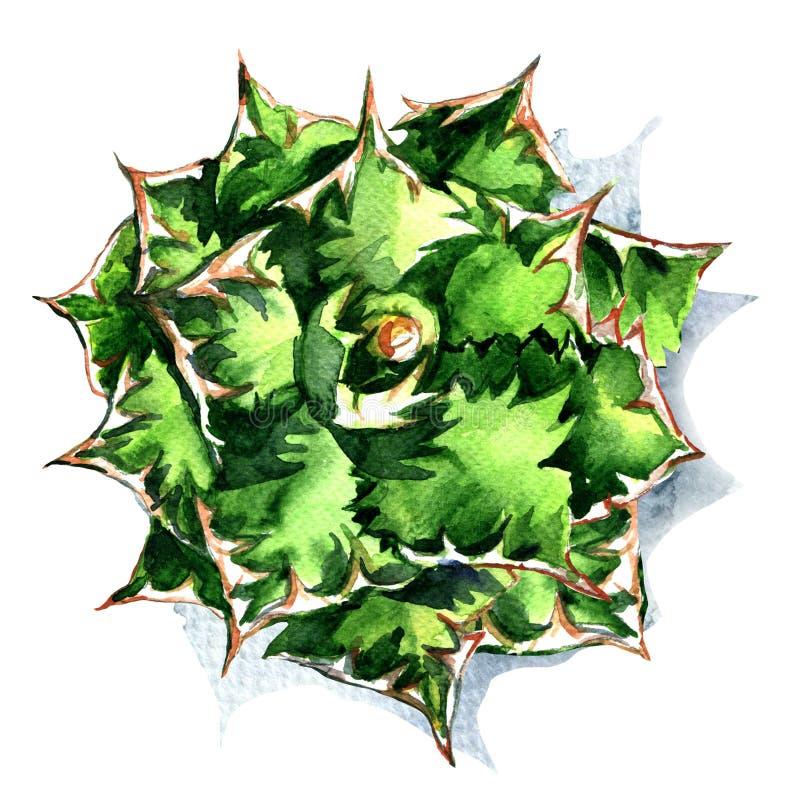 Agave, planta verde, vista superior isolada, ilustração da aquarela no branco ilustração royalty free