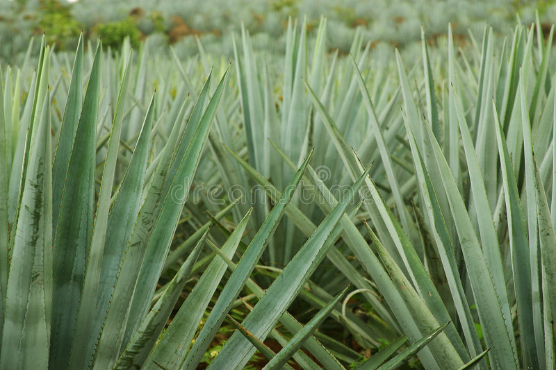Agave plants royalty free stock photos