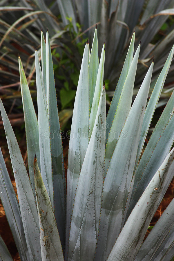 Agave plants royalty free stock photo