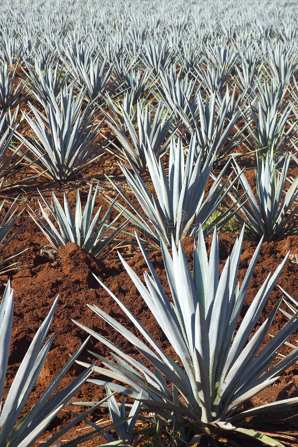 Agave plants stock photography