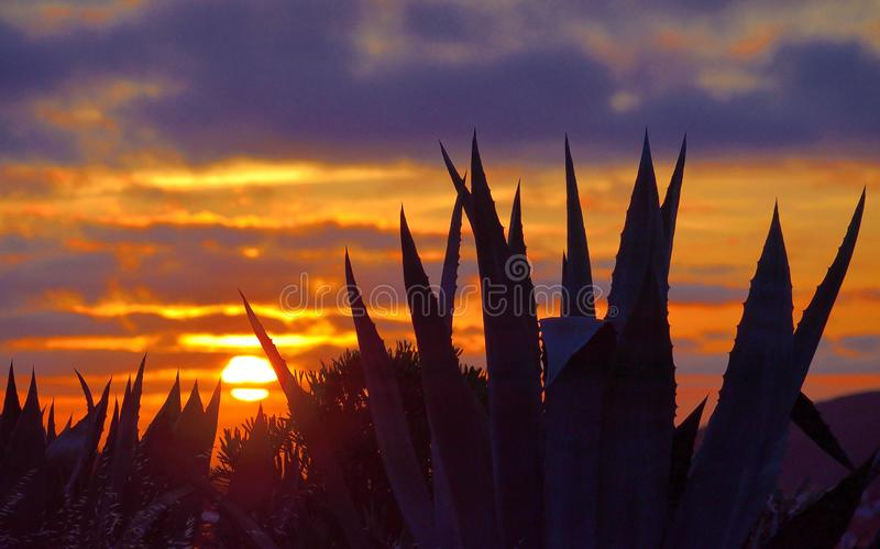 Agave plants during the sunrise stock images