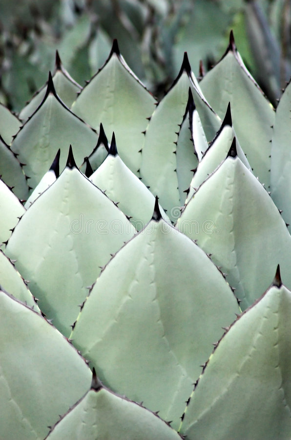 Free Agave Spears Stock Photo - 432820