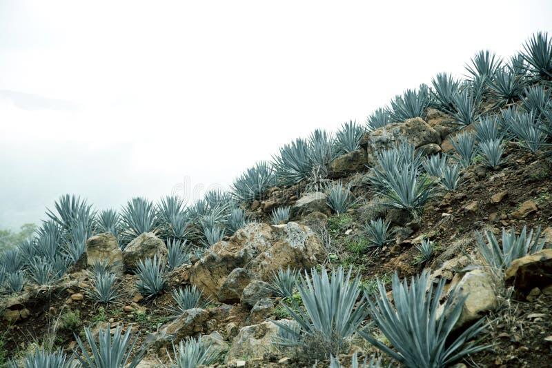 Agave tequila landscape to Guadalajara, Jalisco, stock photo