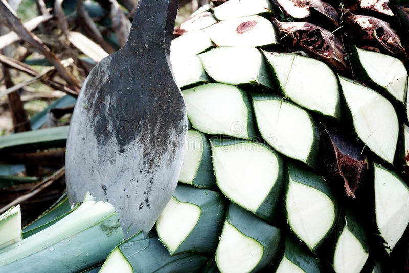 Agave tequila production royalty free stock images
