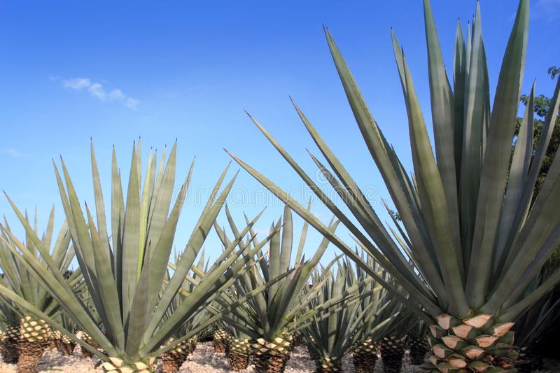 Agave tequilana plant for Mexican tequila liquor. Agave tequilana plant to distill Mexican tequila liquor stock image