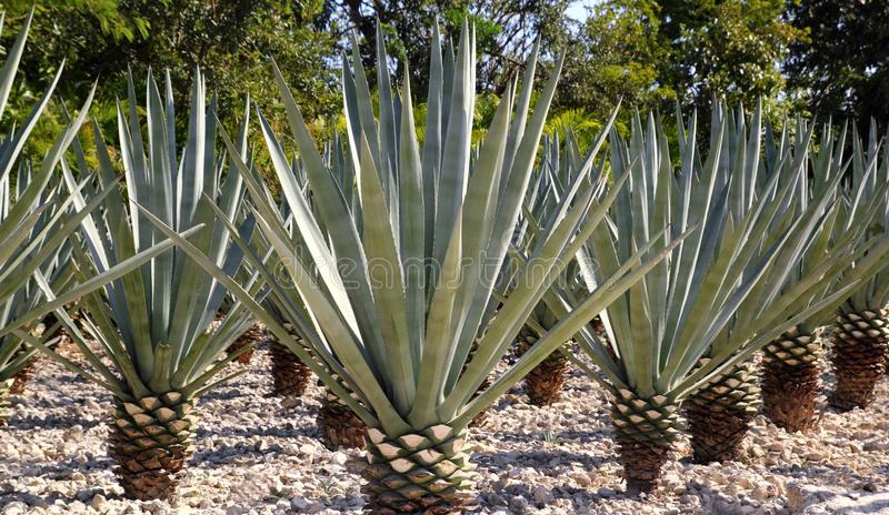 Agave Tequilana Plant For Mexican Tequila Liquor Royalty Free Stock Photos