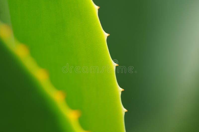 Agave verde fotografia stock