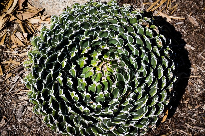 Agave victoriae-reginae Queen victoria agave succulent plant, freshness leaves closeup.  royalty free stock image