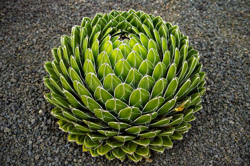 Agave victoriae-reginae, Queen Victoria agave, royal agave, small species of succulent flowering perennial plant stock photo
