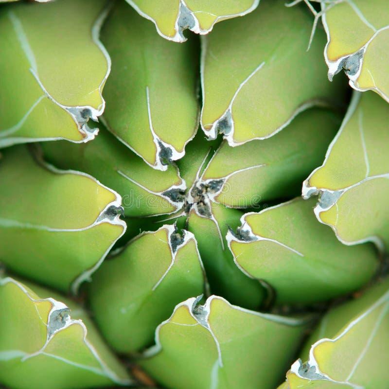 agavebakgrundsclose upp royaltyfria bilder