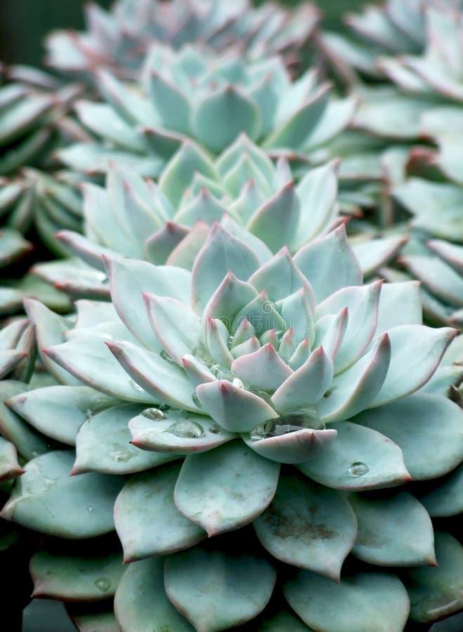 agaveväxt royaltyfri fotografi