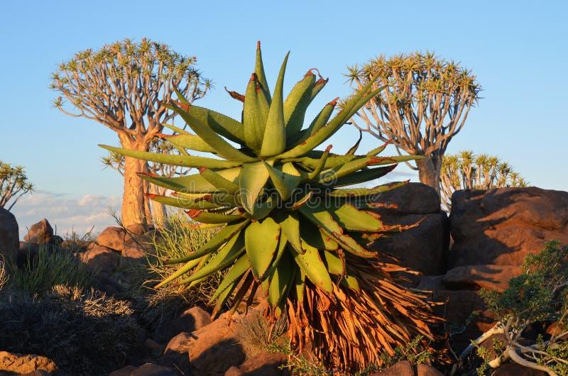 agaveväxt arkivbilder